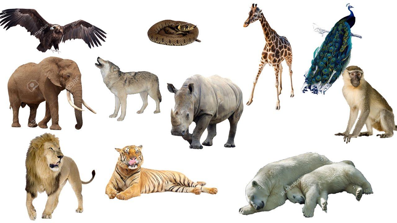 Giáo án tìm hiểu một số con vật sống trong rừng